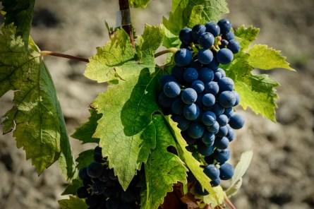 04175-grapes
