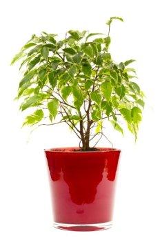 piante da appartamento Beniamina