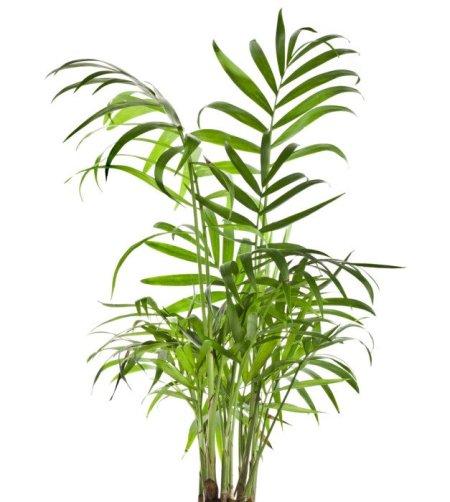 piante da appartamento Chamaedorea seifrizii