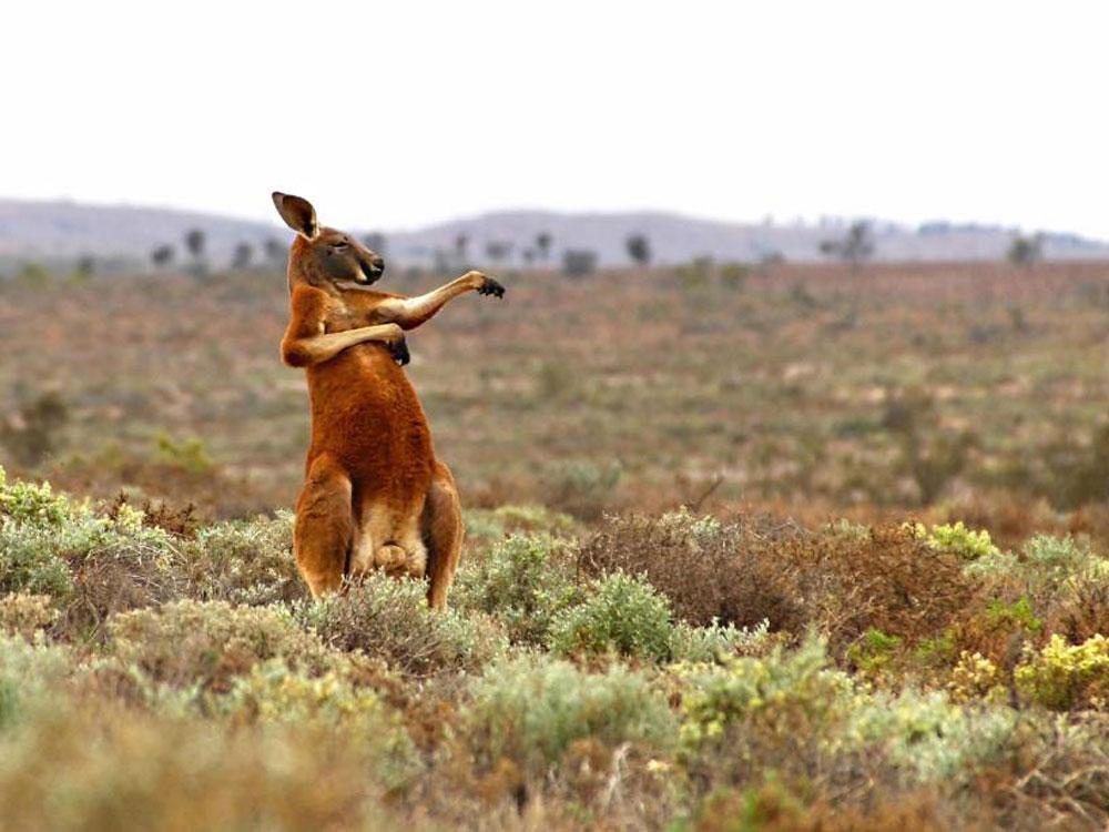 El canguro más bailón del planeta