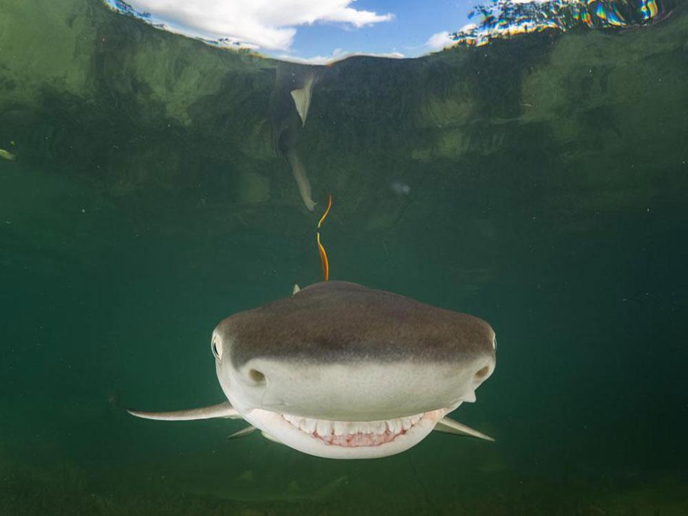 El tiburón que se ríe antes de comerte