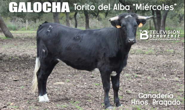 TORITO ALBA MIERCOLES - GALOCHA