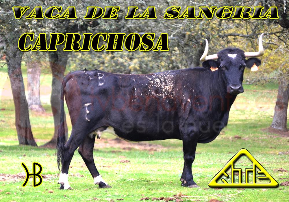 VACA DE LA SANGRIA - CAPRICHOSA_BENAVENTE TV