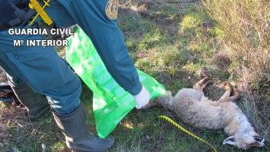 Photo of Localizado un zorro con síntomas de envenenamiento en la comarca de Sayago