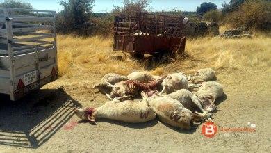 Photo of Fresnadillo de Sayago sufre más ataques de lobos con 16 ovejas muertas
