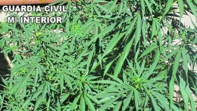 Photo of Incautadas 75 plantas de marihuana en una finca de Sayago