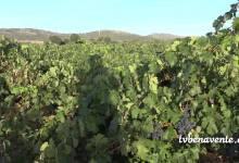 "Photo of ""Valles de Benavente"" inicia la vendimia este lunes"