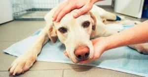 Instruções pré e pós operatórios para cães e gatos por Dra. Elaine Pessuto