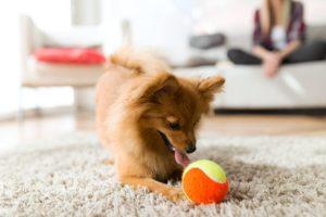Raças de cães ideais para quem mora em apartamento por Dr. Renato Zanetti