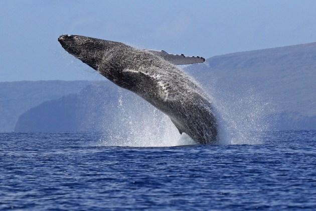 Maui-Whale-Breach---Ellen-Raimo-2