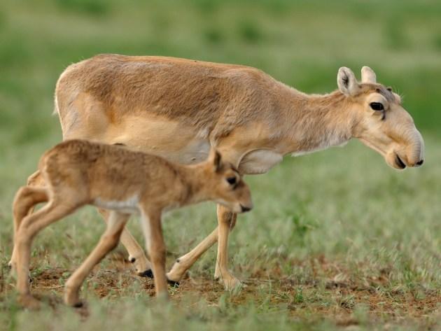 Une mère antilopes saïgas et son petit.