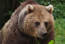 Photo of Konjic: Medvjed napao čobana