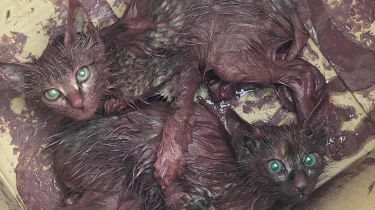 La PAS rescata dues cries de gat cobertes de pintura