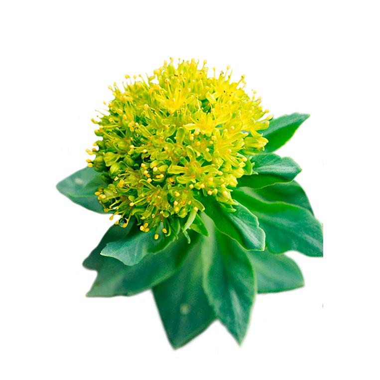 Rhodiola, l'ajuda natural a l'estrès