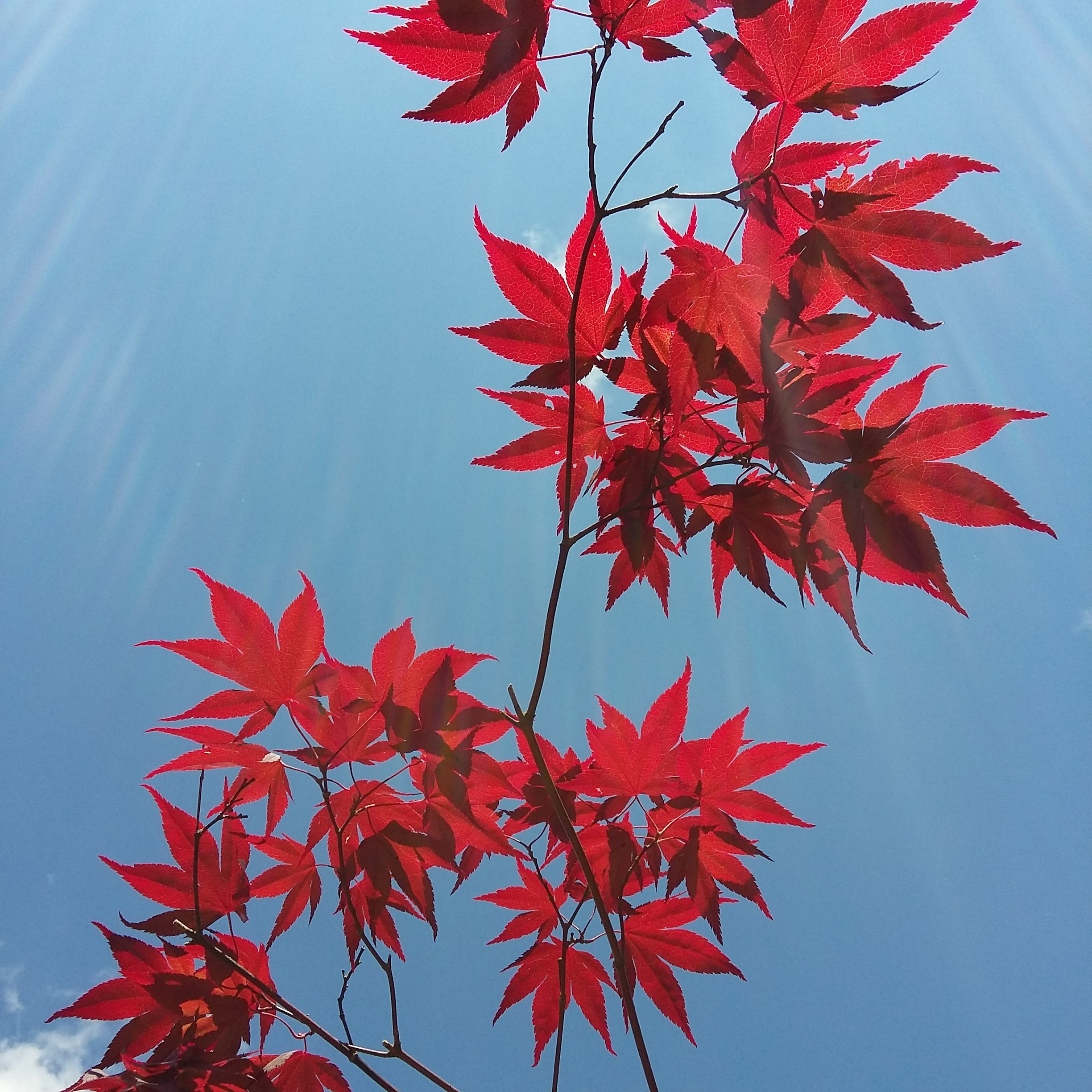 Acer and blue sky