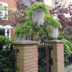 Wisteria above gate
