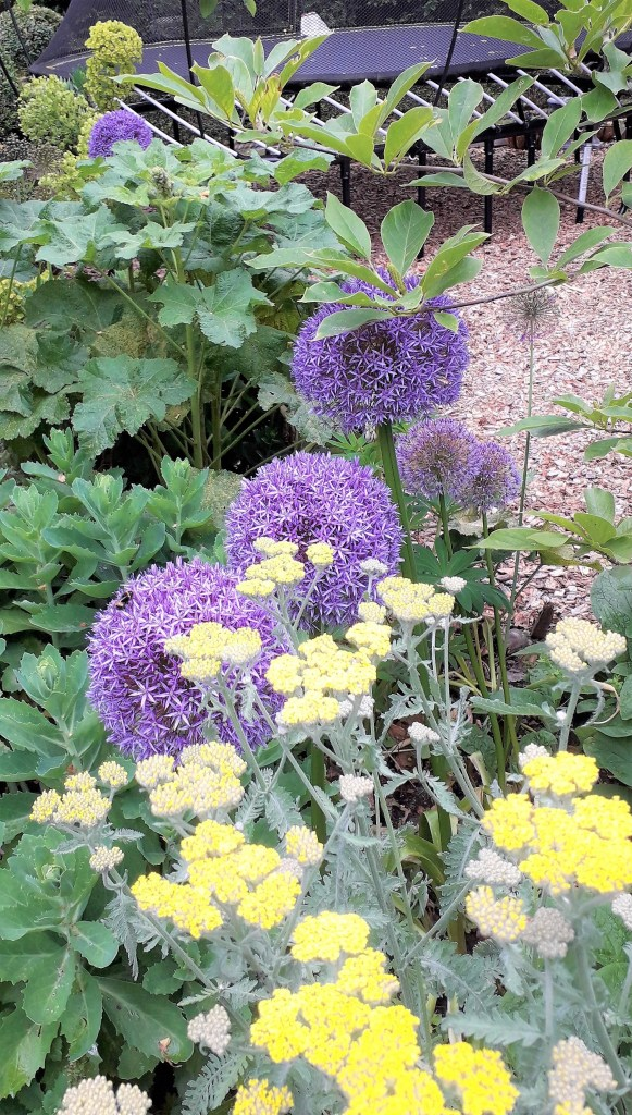 Allium and Achillea in June with Sedum and Alcea