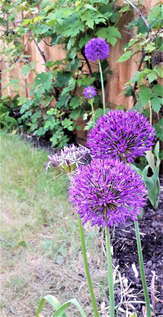 Allium and Vitis in May