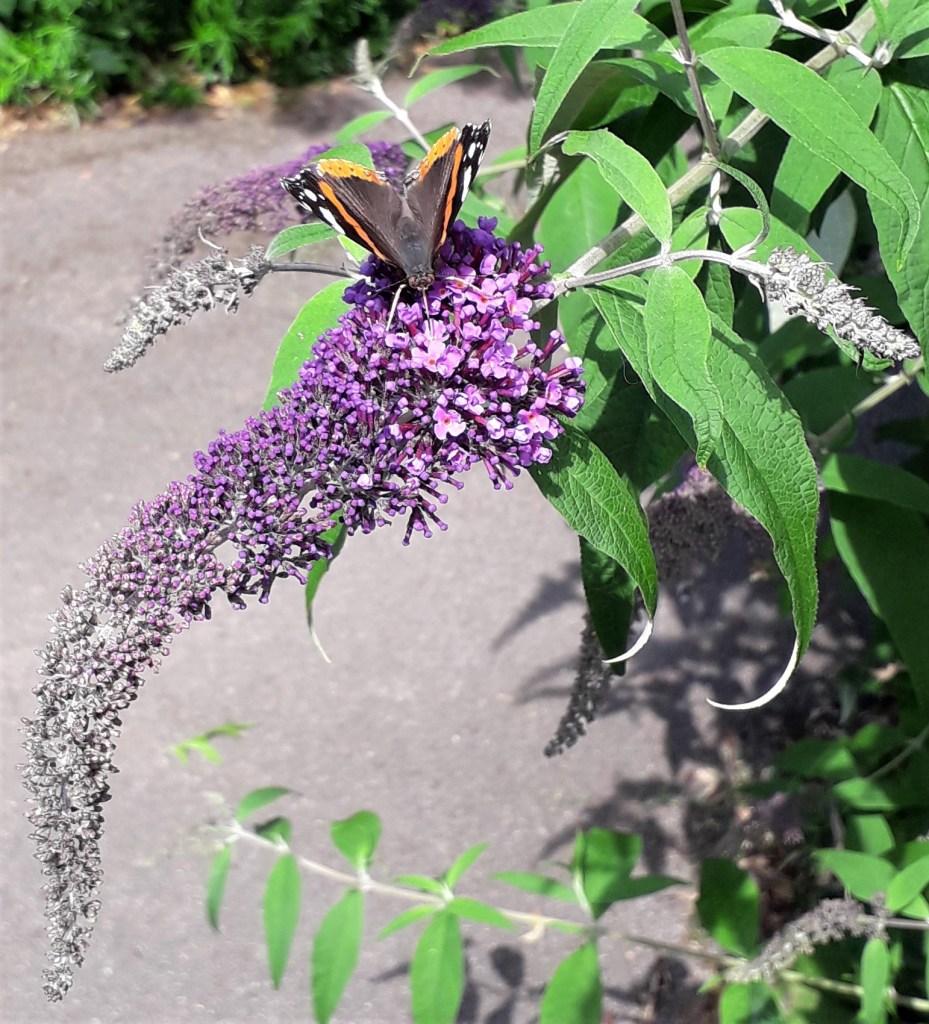 Butterfly on Buddleja davidii