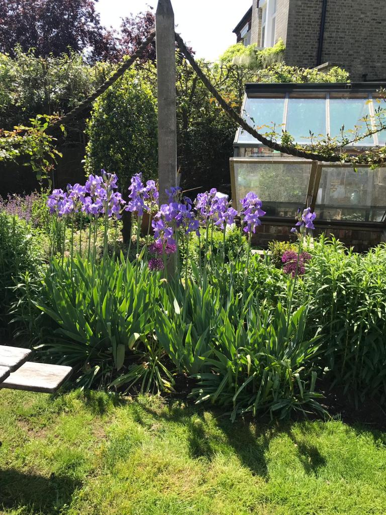 Iris germanica in July with Allium and roses