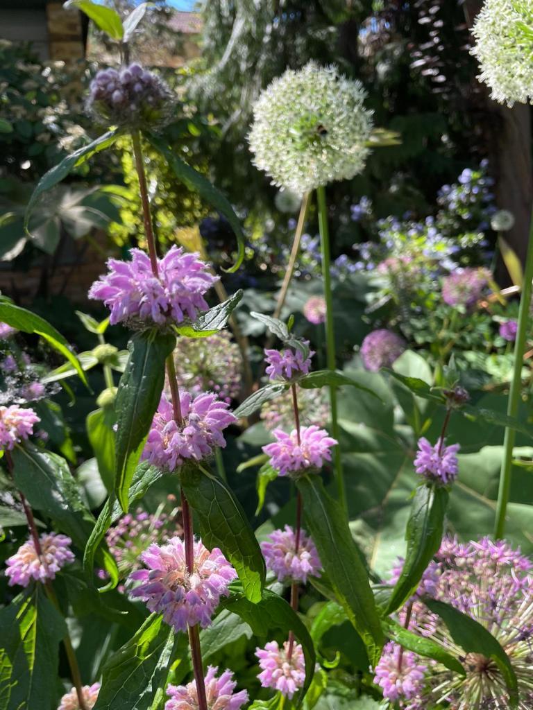 Phlomis tuberosa 'Amazone' and Allium 'Mont Blanc' June 2021