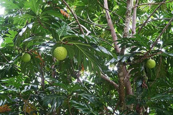breadfruit on the tree