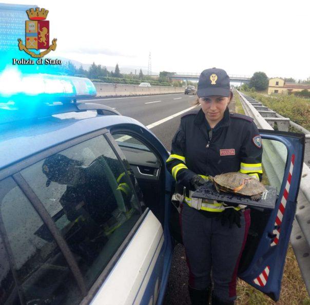 Autostrada A11: tartaruga investita. Soccorsa e portata al sicuro dalla Polizia stradale