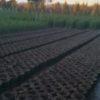 Pistoia: rubate da un vivaio 1.400 piante di cipresso