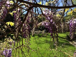 Peaking through the wisteria