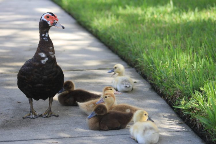 Lighthearted Family Ducks Nature