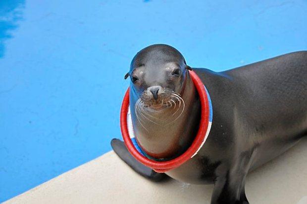 The Como Zoo's Sparky the Sea Lion.
