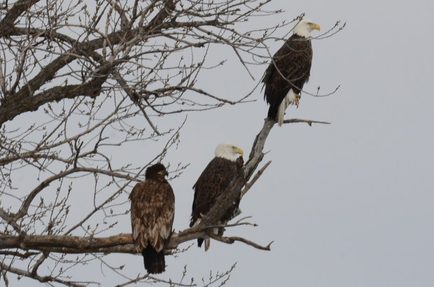 "See world ... Another close encounter of the natural kind, reported by JIM SHUMAKER of New Richmond, Wis.: ""The Family: bald eagles along the Mississippi River, on the Minnesota side. I hope your readers enjoy the photos of our beautiful, majestic national bird."""