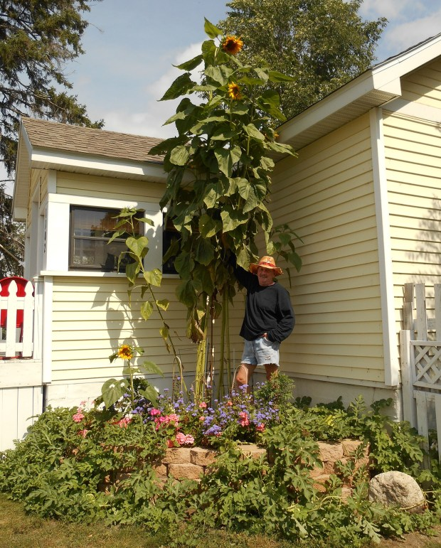 """Then & Now ... From DEBORAH STACE and MIKE MIELZAREK: """"We came across this photo from 1966: Mike Mielzarek in the back-yard garden on St. Paul's East Side (Payne/Phalen area). We now live in Northern Minnesota and decided to plant some sunflowers this year. We never thought they would get this tall! Here is Mike standing next to his sunflowers the other day, in 2016 — 50 years later!"""""""