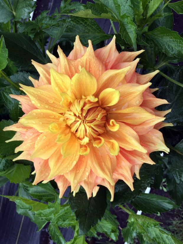 Harry Meggos is one of the dahlias grown by Kyle Cassidy at Creekside Dahlias in Ham Lake, is shown in a photo taken Saturday, Aug. 27, 2016. Cassidy started growing dahlias on a whim about 10 years ago. Today, he estimates he has 550 varieties in four gardens around his Ham Lake home. (Pioneer Press: Will Ashenmacher)