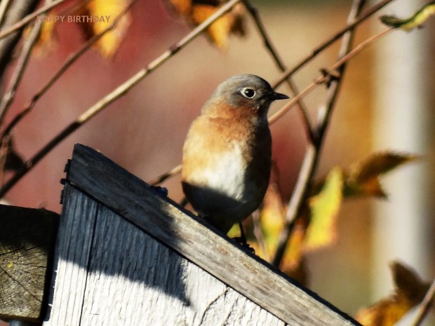 "Our birds, ourselves ... DORIS G. of Randolph wrote: ""We hate to think the bluebirds will be leaving soon."" BULLETIN BOARD ADVISES: Then don't think about it! Enjoy them here and now — unless, of course, they've already flown…."