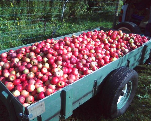 Apples gleaned in 2015 from Sunrise Farm by Metro State students (photo courtesy August Hoffman)