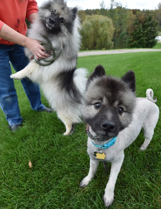 Terra, a 3 year-old Keeshond,, went missing for six months before Eagan animal control officer Bob Kent founder her three miles from her house. Terra was photographed along with her owner Lynnea Petersen and Kayze, a 6 year-old Keeshond at their Inver Grove Heights home on Thursday, Oct. 6, 2016. (Pioneer Press: John Autey)