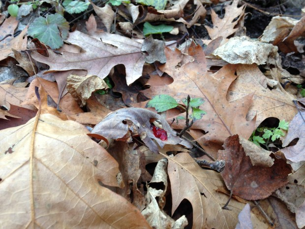 A single drop of blood marked the end of the blood trail for a deer outdoors editor Dave Orrick shot -- but never found -- Friday, Nov. 13, 2015. (Pioneer Press: Dave Orrick)