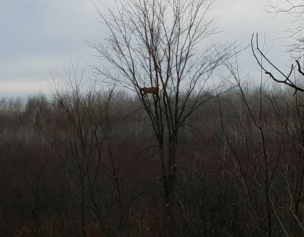 A mountain lion perches in a tree near Nashwauk in northern Minnesota Monday, Nov. 8, 2016. The animal chased a deer and got into a brief altercation with another apparent mountain lion, or cougar, while Jordan Bowen, 18, of Rush City, Minn., was deer hunting. Mountain lions are occasionally seen in Minnesota, but wildlife officials have never found evidence of a breeding population. (Photo courtesy Jordan Bowen)