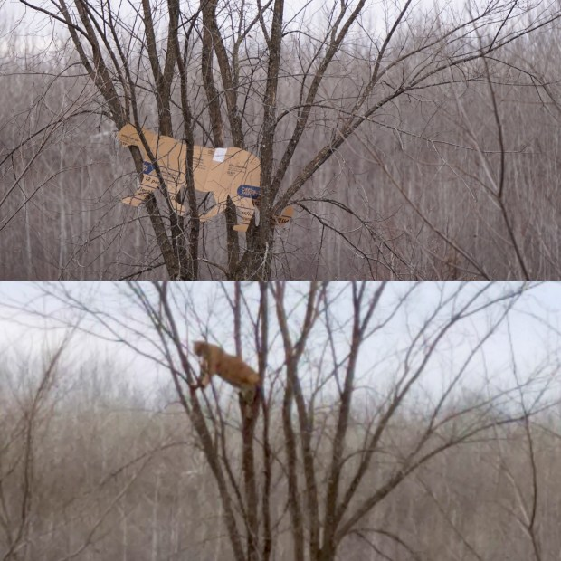 A cardboard cutout of a typical size cougar, or mountain lion, top, is compared to a photograph of a bobcat in the same tree from the same vantage in northern Minnesota. The bottom photo was initially believed to be of a cougar, but when a Minnesota wildlife official visited the site with the cardboard cutout site Monday, Nov. 16, 2016,, he concluded the animal was too small. (Top photo: Dan Stark, Minnesota DNR; bottom: courtesy Jordan Bowen; composite by Dave Orrick Pioneer Press)