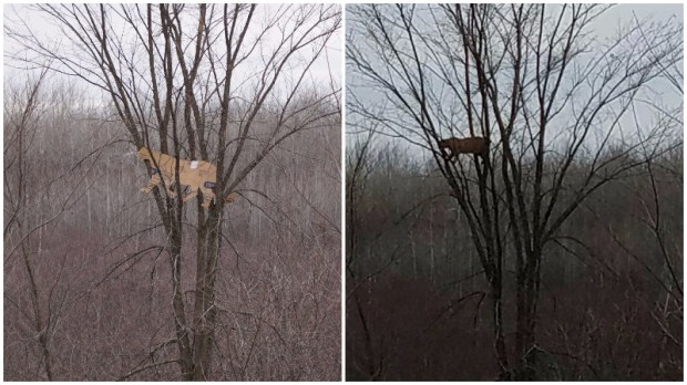 A cardboard cutout of a typical size cougar, or mountain lion, left, is compared to a photograph of a bobcat in the same tree from the same vantage in northern Minnesota. The photo on the right was initially believed to be of a cougar, but when a Minnesota wildlife official visited the site with the cardboard cutout site Monday, Nov. 16, 2016,, he concluded the animal was too small. (Left photo couresy of Dan Stark, Minnesota DNR; right photo courtesy of Jordan Bowen)