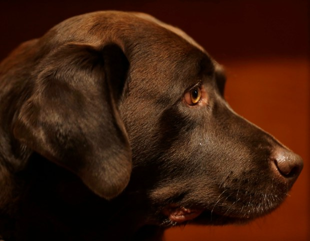 In this Wednesday, Jan. 30, 2013, photo, a Labrador retriever named Shayna attends a news conference at the American Kennel Club in New York. According to the American Kennel Club Tuesday, March 21, 2017, Labrador retrievers have extended their record run as America's most popular dog breed for 2016. (AP Photo/Seth Wenig, File)