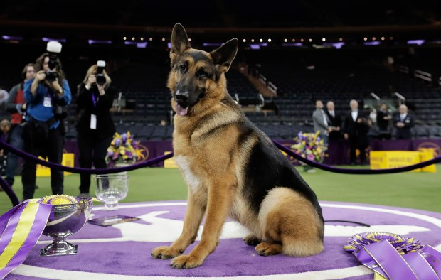 In this Feb. 15, 2017, photo, Rumor, a German shepherd, poses for photos after winning Best in Show at the 141st Westminster Kennel Club Dog Show, in New York. German shepherds hold the second spot in America's most popular dog breeds for 2016 according to the American Kennel Club Tuesday, March 21, 2017. (AP Photo/Julie Jacobson, File)