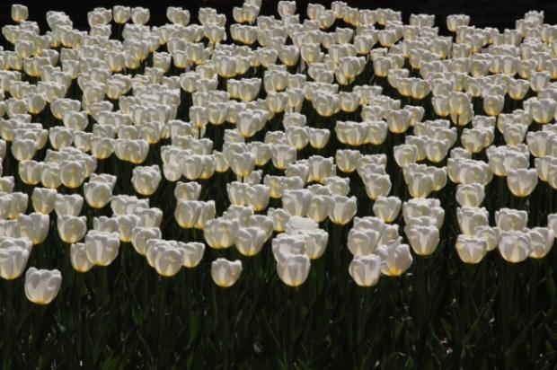 170409bbcut-tulip3