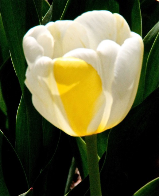 170409bbcut-tulip4