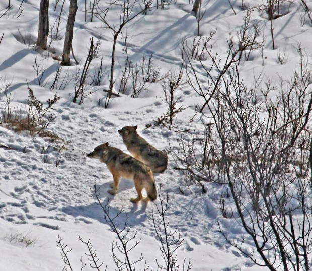 This Feb. 27, 2017 photo released by scientist Rolf Peterson shows the last two remaining wolves at Isle Royale National Park in Michigan. With only two wolves left to feast on them, the moose of Isle Royale National Park are undergoing a population explosion that could endanger the wilderness area's fir trees and eventually cause many of the moose to starve, scientists said Tuesday, April 18, 2017. (Rolf Peterson via AP)