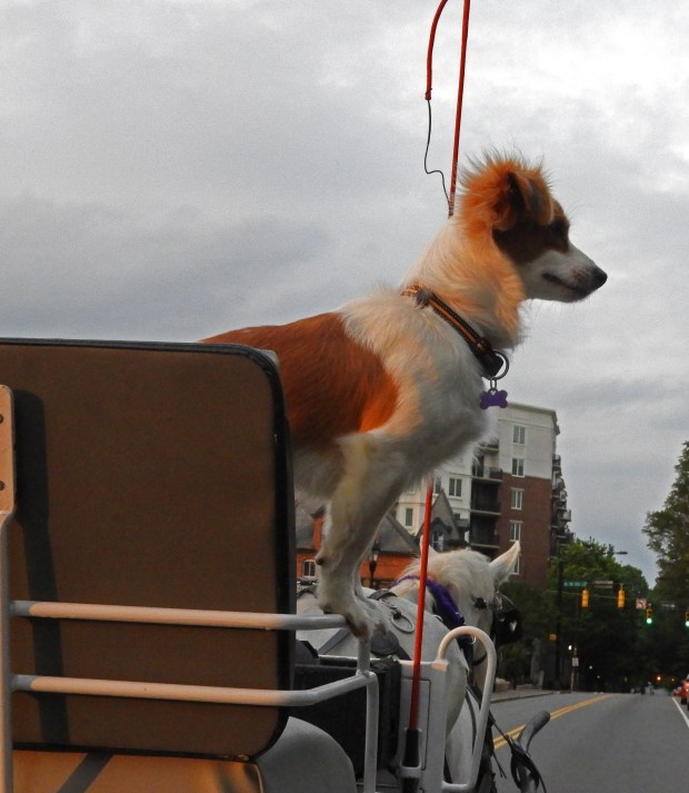 Iggy the dog helps his master navigate the streets of uptown Charlotte in a horse-drawn carriage. (Karen Hansen Gurstelle)