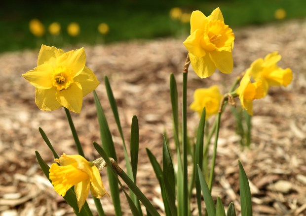 """""""Daffodils are one of the first signs of spring, which is eagerly anticipated,"""" said Becci Dawson Cox, a Stillwater resident who led the push for the new garden. """"This whole area has been so torn up for so long … we wanted to do something that would help the approach."""" Cox said she came up with the idea of the garden after reading about a daffodil festival in Bayfield, Wis., and a gateway garden welcoming people to Northfield. (Scott Takushi / Pioneer Press)"""