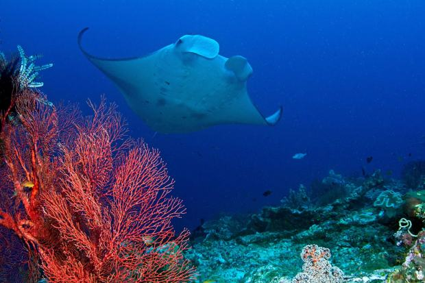 """A manta ray -- along with best supporting actor, coral -- stars in """"Journey to the South Pacific.""""(MacGillivray Freeman Films)"""