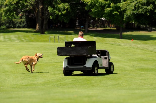 Putter, an 8-year-old Labrador retriever, runs alongside Tom Schmidt, superintendent at Hillcrest Golf Club in St. Paul Thursday, July 27, 2017.The 96-year-old course will close Oct. 31, owners have announced. Schmidt, who has worked at the course for 20 years, has often used his dogs to scare geese off the course. (Dave Orrick / Pioneer Press)